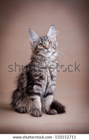 maine coon cat on a beige background - stock photo