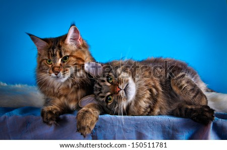 maine coon cat on a colored background - stock photo