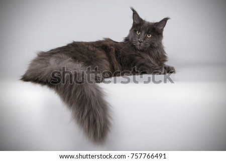 Maine Coon cat on a gray background