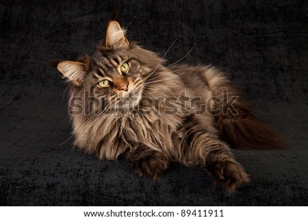 Maine Coon cat on black background - stock photo