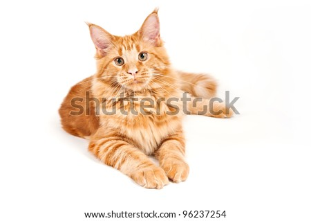 Maine Coon cat on white background - stock photo