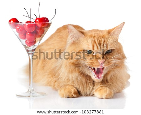 Maine Coon cat on white background. cat looking evil. agressive cat. - stock photo