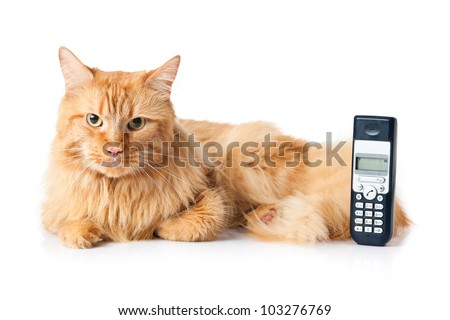 Maine Coon cat on white background. Cats and  phone. - stock photo