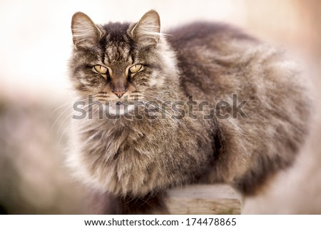 Maine Coon cat outdoors on fence