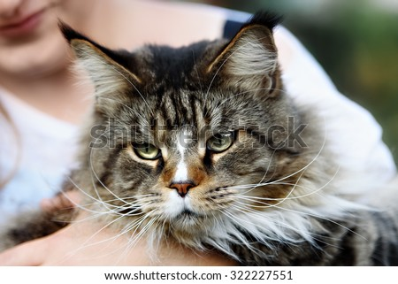 Maine coon cat outside with a curious look on his face. - stock photo