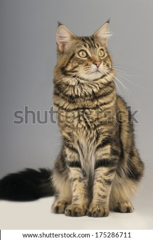 Maine Coon cat sitting isolated - stock photo