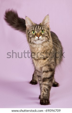 Maine Coon cat walking standing on lilac purple background - stock photo