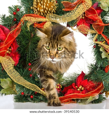 Maine Coon cat walking through Christmas wreath on white background - stock photo