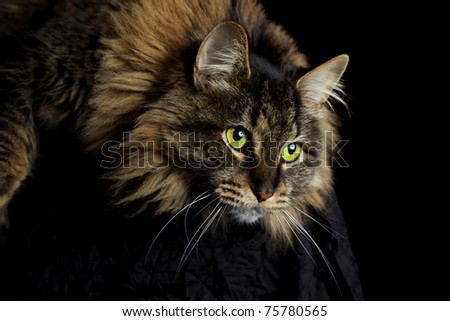Maine Coon cat with green eyes staring down on black background - stock photo
