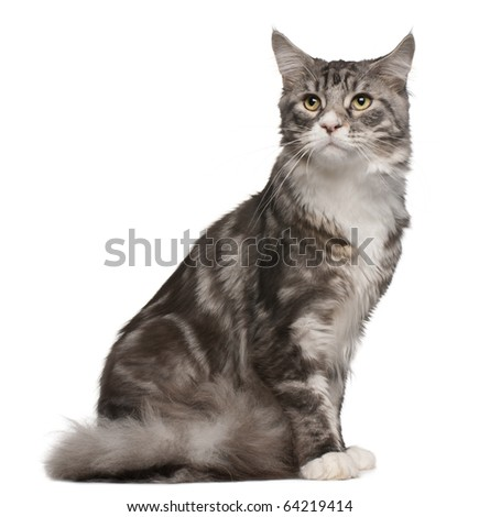 Maine coon cat, 1 year old, sitting in front of white background - stock photo