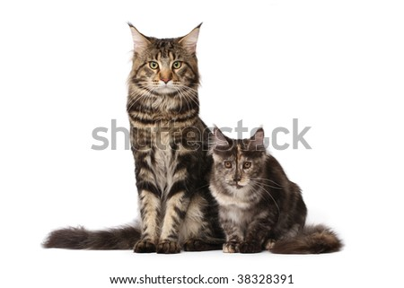 Maine-coon cats family