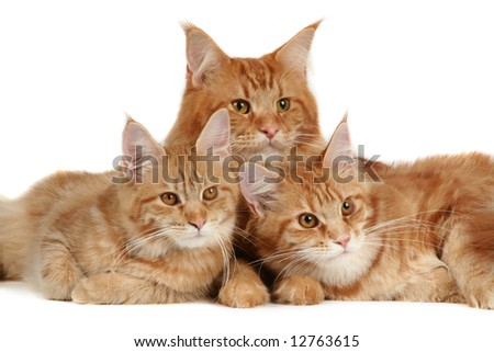 Maine coon cats over white background