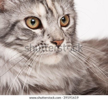 Maine-coon close-up portrait - stock photo
