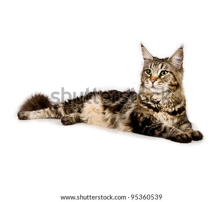 Maine coon, female , on white background - stock photo