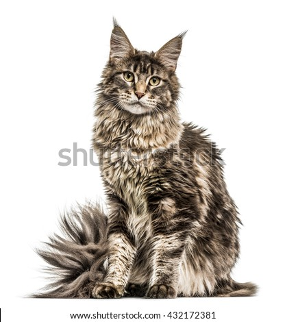 Maine Coon isolated on white - stock photo