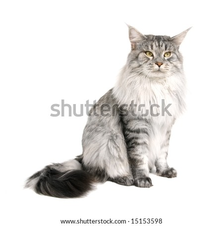 maine coon isolated on white background - stock photo