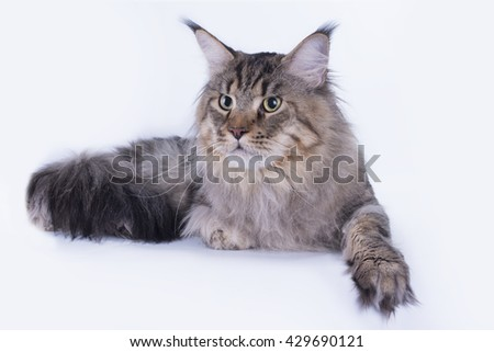 Maine coon isolated on white background