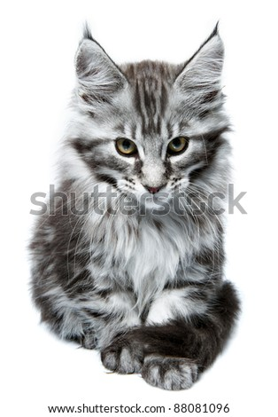 Maine Coon kitten. Age - 2 month