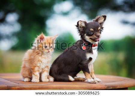 maine coon kitten and chihuahua puppy - stock photo