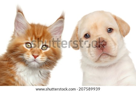 Maine Coon kitten and Labrador puppy. Close-up portrait on white background - stock photo