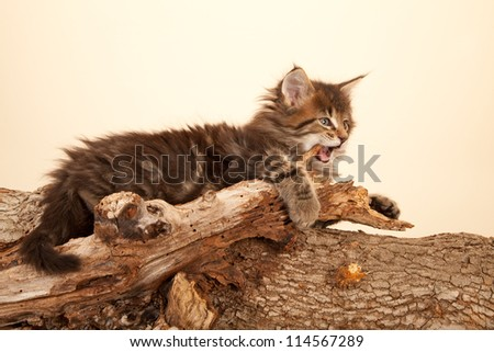 Maine Coon kitten biting wooden branch on beige background - stock photo