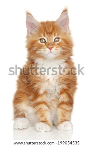 Maine Coon kitten. Close-up portrait on a white background