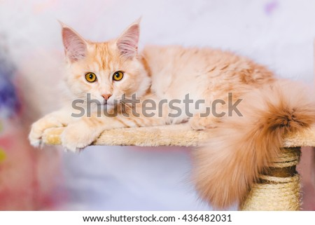 Maine coon kitten closeup portrait. Red tabby bi-color cat lying on natural background. Light orange color curious pet.