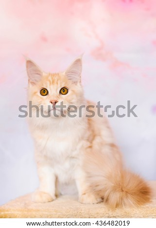 Maine coon kitten closeup portrait. Red tabby bi-color cat sitting on natural background. Light orange color curious pet.