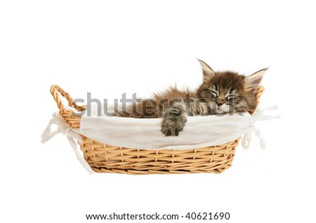 maine coon kitten in basket isolated on white background - stock photo