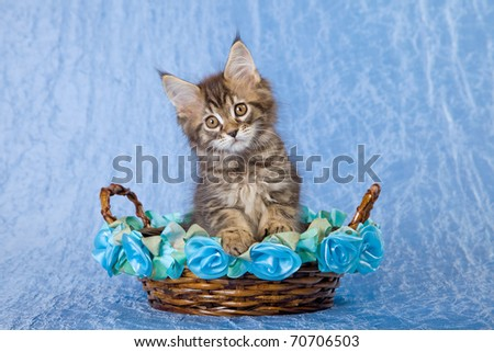 Maine Coon kitten in brown and blue basket on blue background - stock photo