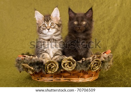 Maine Coon kitten in brown basket on blue background - stock photo
