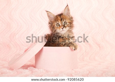 Maine Coon kitten in pink gift box on pink background - stock photo
