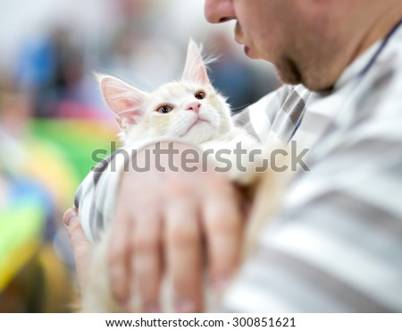 Maine Coon kitten in the hands of the owner                           - stock photo