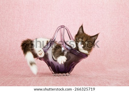 Maine Coon kitten lying inside purple glass vase on pink background  - stock photo
