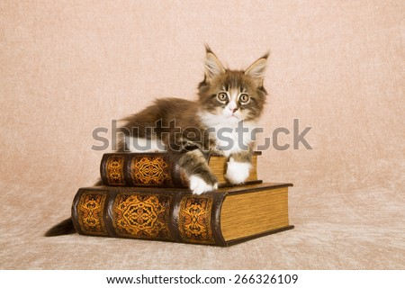 Maine Coon kitten lying on leather bound books against beige background  - stock photo