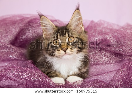 Maine Coon kitten lying on purple fabric on pink background