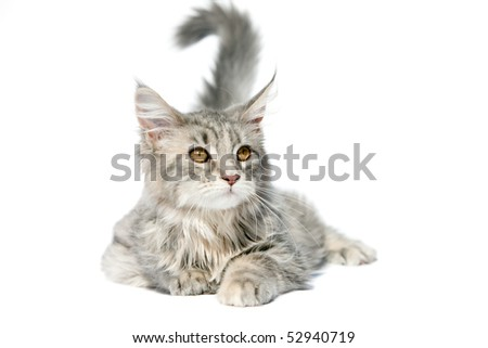 Maine coon kitten lying on white background - stock photo