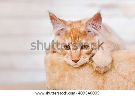 Maine coon kitten. Maine coon cat. Maine coon orange color. Maine coon red tabby kitten. Maine coon close-up portrait. - stock photo