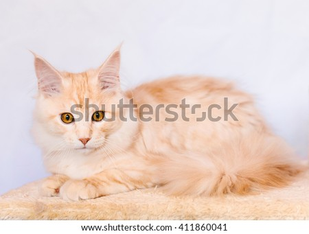Maine coon kitten. Maine coon closeup portrait. Red tabby bi-color maine coon cat lies on natural background. Light orange color curious maine coon pet. Maine coon cat. - stock photo