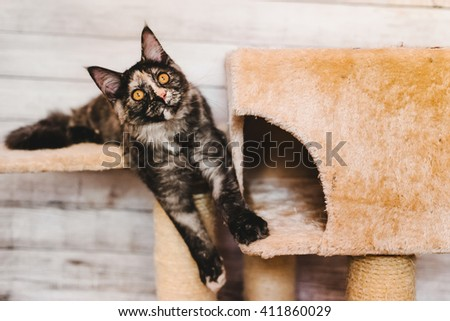 Maine coon kitten. Maine coon closeup portrait. Tortoiseshell maine coon cat playing on natural background near cathouse with wary ears. Grey color curious maine coon pet. Maine coon cat. - stock photo