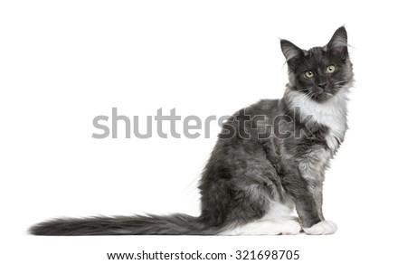 Maine Coon kitten (4 months old) - stock photo