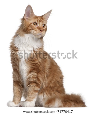 Maine Coon kitten, 7 months old, in front of white background - stock photo