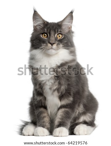 Maine Coon Kitten, 5 months old, sitting in front of white background - stock photo