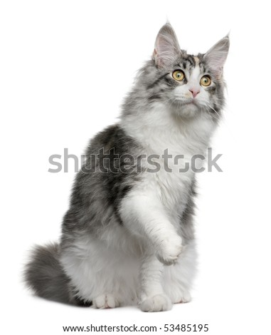 Maine coon kitten, 7 months old, with one paw up sitting in front of white background - stock photo