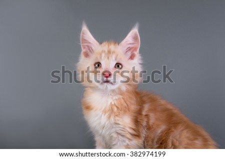 Maine Coon kitten on a gray background with a ball