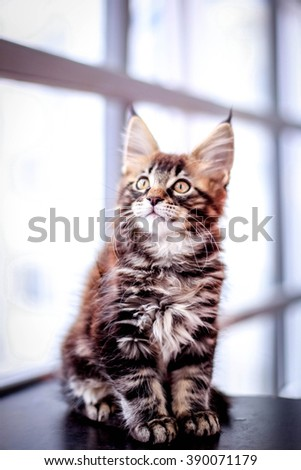 Maine Coon kitten on black table - stock photo