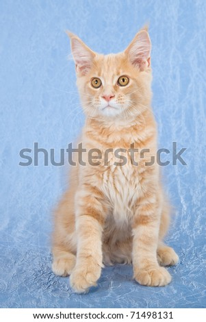 Maine Coon kitten on blue background