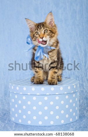 Maine Coon kitten on blue gift box licking tongue - stock photo