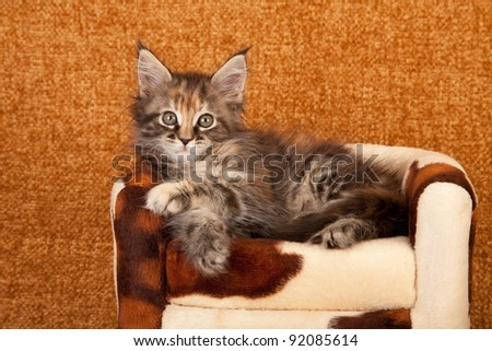Maine Coon kitten on cow hide chair on brown background