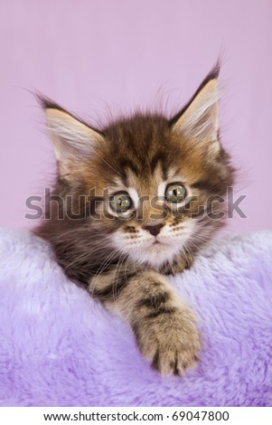 Maine Coon kitten on faux fur cushion - stock photo